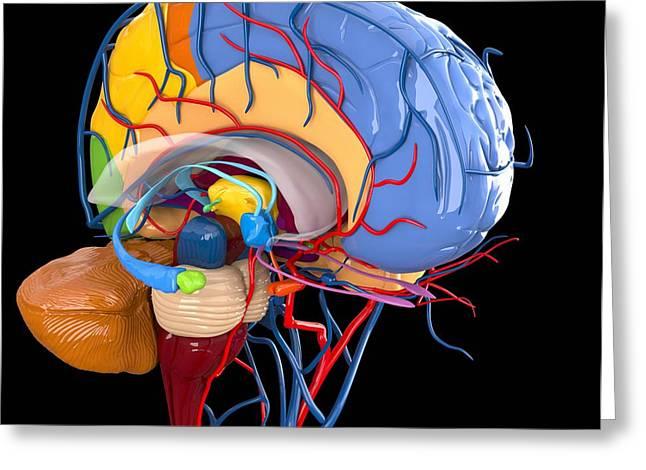 Human Brain Anatomy, Artwork Greeting Card by Roger Harris
