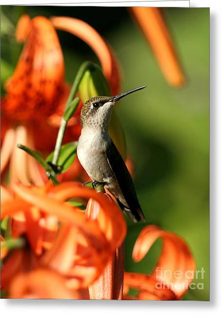 Ruby-throated Hummingbird Greeting Card by Jack R Brock