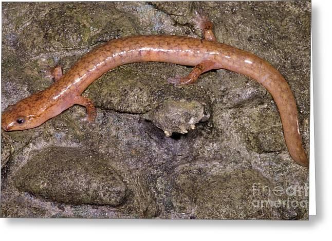 West Virginia Spring Salamander Greeting Card by Dante Fenolio