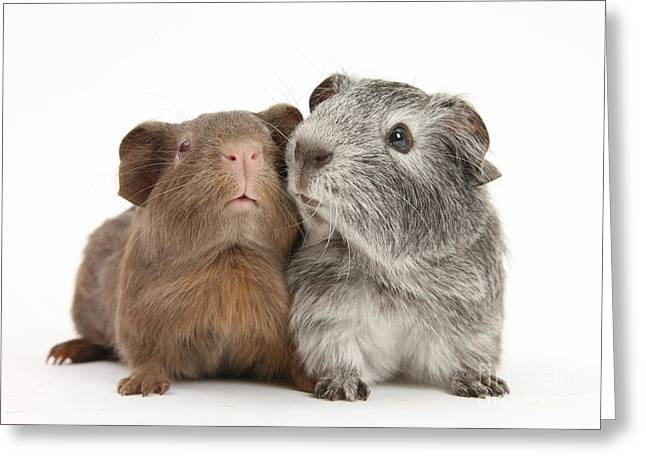 Guinea Pigs Greeting Card by Mark Taylor