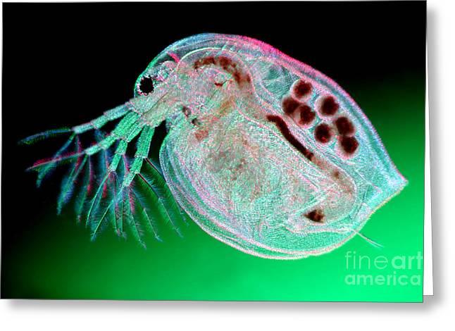 Water Flea Daphnia Magna Greeting Card by Ted Kinsman