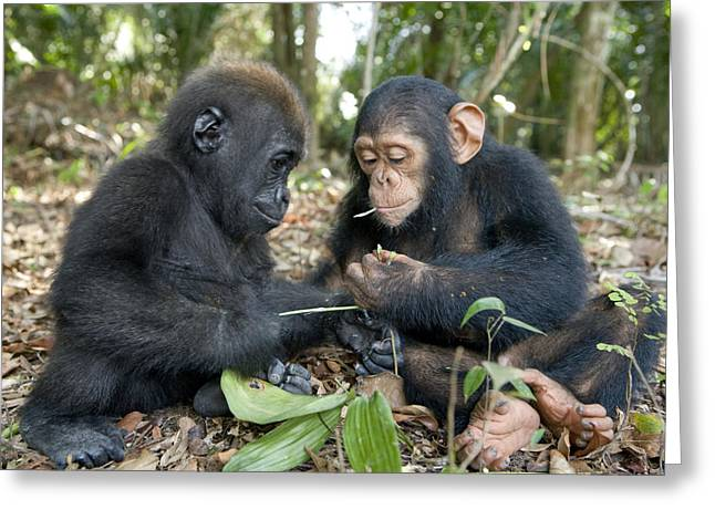 A Baby Gorilla And A Chimpanzee Greeting Card by Michael Poliza