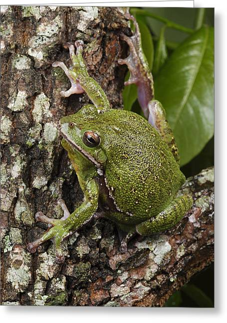 A Barking Treefrog Sits On The Crotch Greeting Card by George Grall