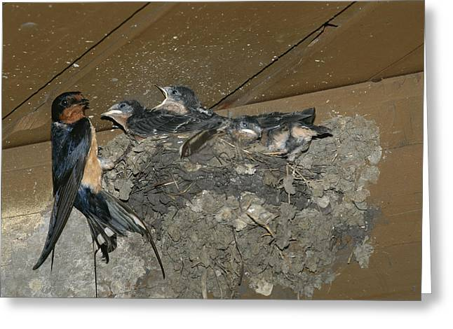 A Barn Swallow Mother Feeds Her Young Greeting Card by Norbert Rosing