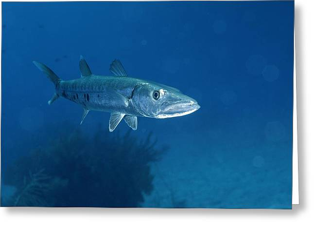 A Barracuda Fish Sphyraena Species Greeting Card by Wolcott Henry