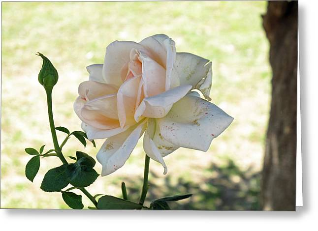 A Beautiful White And Light Pink Rose Along With A Bud Greeting Card by Ashish Agarwal