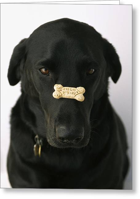 A Black Lab With A Dog Biscuit Greeting Card