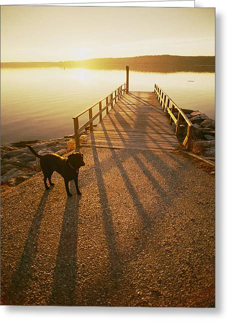 A Black Labrador Pauses Greeting Card