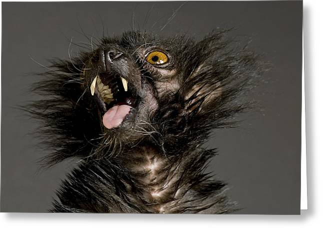 A Black Lemur, Eulemur Macaco Greeting Card by Joel Sartore