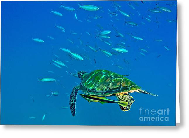 A Black Sea Turtle With Remora Swim Greeting Card by Michael Wood