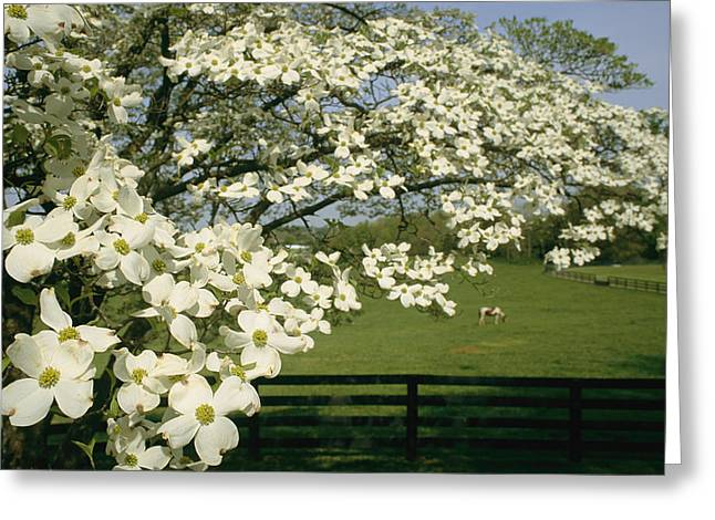 A Blossoming Dogwood Tree In Virginia Greeting Card by Annie Griffiths