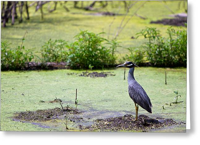 A Blue Bird In A Wetland -yellow-crowned Night Heron  Greeting Card by Ellie Teramoto