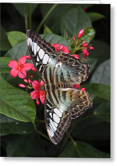 A Blue Clipper Butterfly Feeds Greeting Card by George Grall
