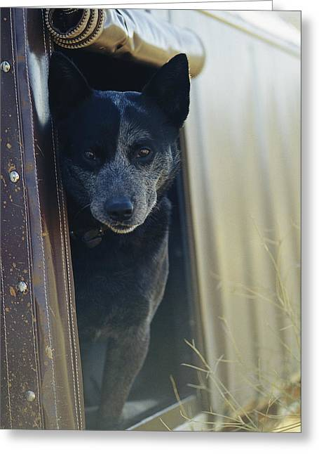 A Blue Heeler Cattle Dog Peers Greeting Card by Jason Edwards