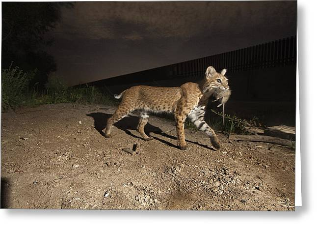 A Bobcat Crosses A Rio Grande Border Greeting Card by Joel Sartore