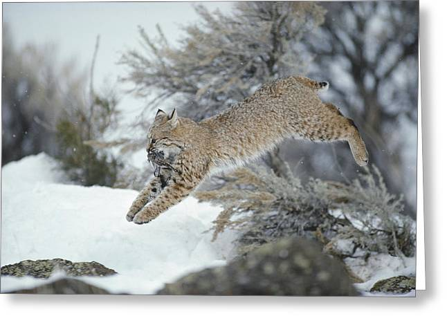 A Bobcat Leaps With A Horned Lark Greeting Card