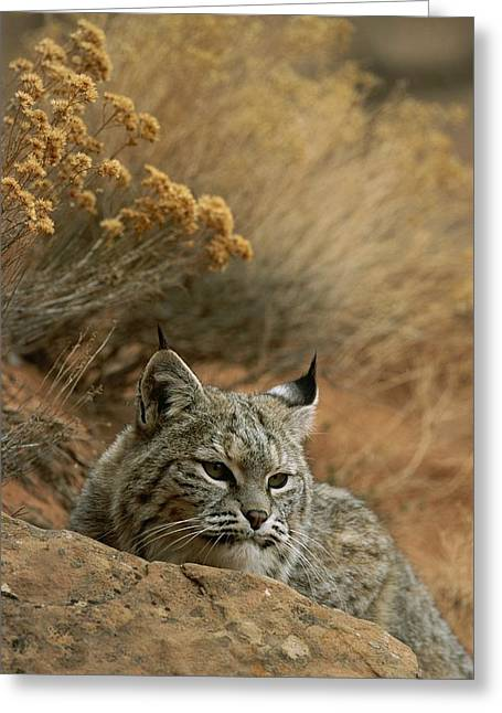 A Bobcat Greeting Card by Norbert Rosing