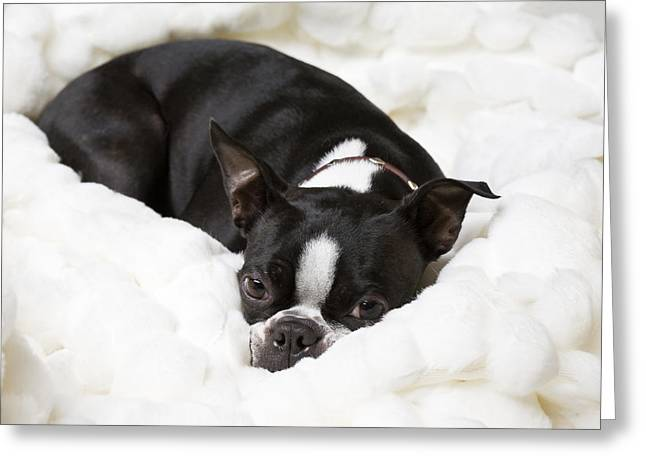 A Boston Terrier Rests On A Puffy White Greeting Card by Hannele Lahti
