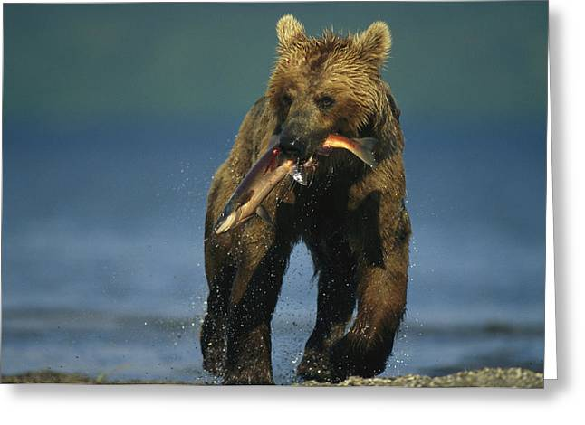 A Brown Bear Eating A Freshly Caught Greeting Card by Klaus Nigge