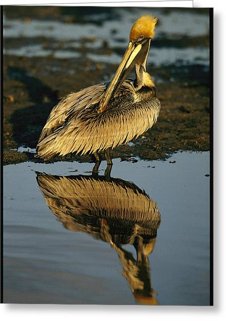 A Brown Pelican Preening Its Feathers Greeting Card by Tim Laman
