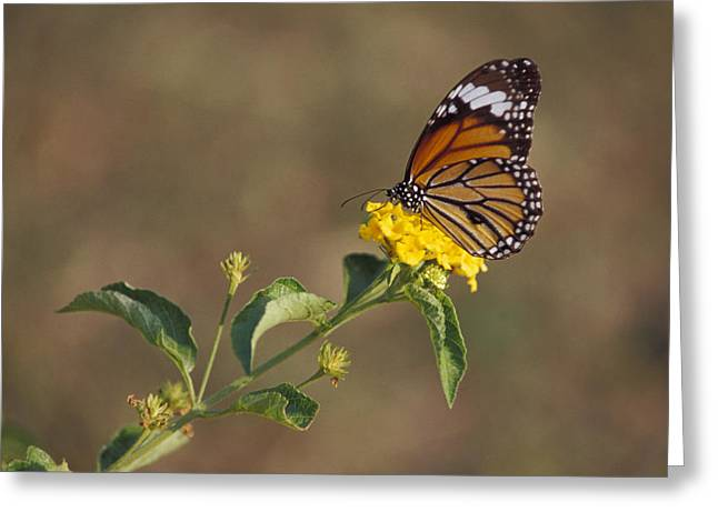 A Butterfly Feeds On Bright Yellow Greeting Card by Jason Edwards