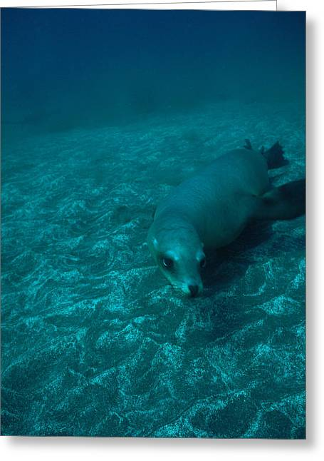 A California Sea Lion Swims Close Greeting Card by Heather Perry