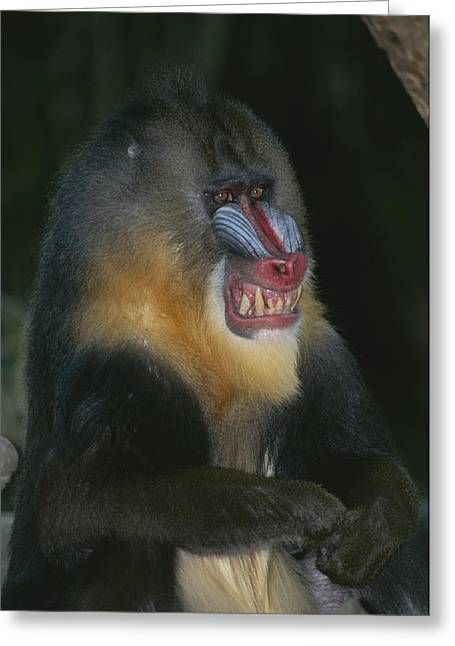 A Captive Adult Male Mandrill Greeting Card by Tim Laman