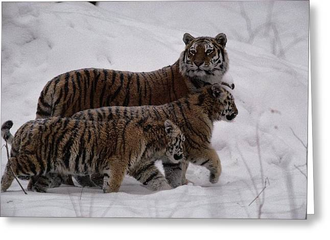 A Captive Siberian Tiger And Her Cubs Greeting Card by Michael Nichols