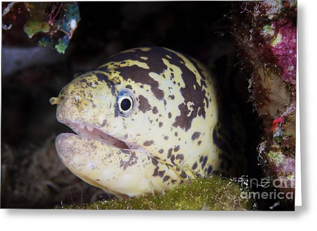 A Chain Moray Eel Peers Out Of Its Hole Greeting Card by Terry Moore