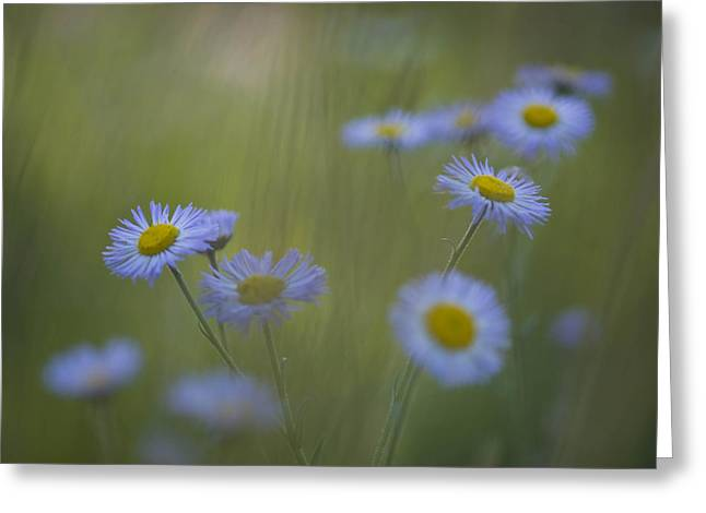 A Close Up Of Purple Aster And Daisy Greeting Card by Ralph Lee Hopkins