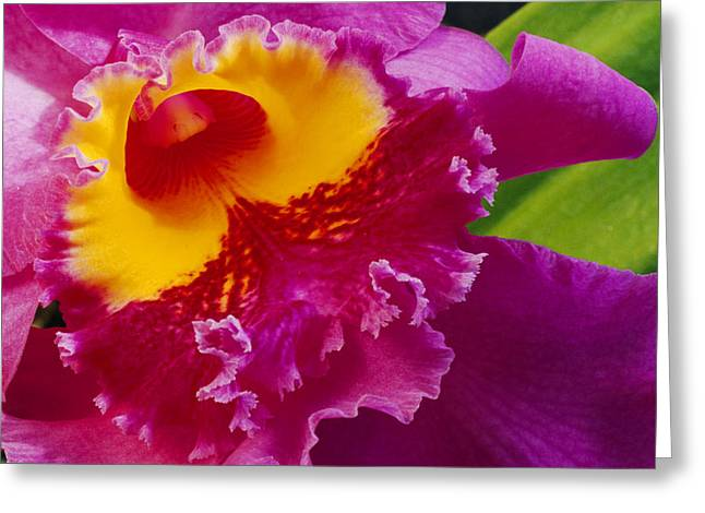 A Close View Of A Bright Pink Cattleya Greeting Card