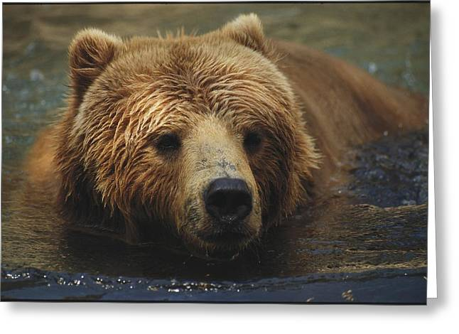 A Close View Of A Captive Kodiak Bear Greeting Card by Tim Laman
