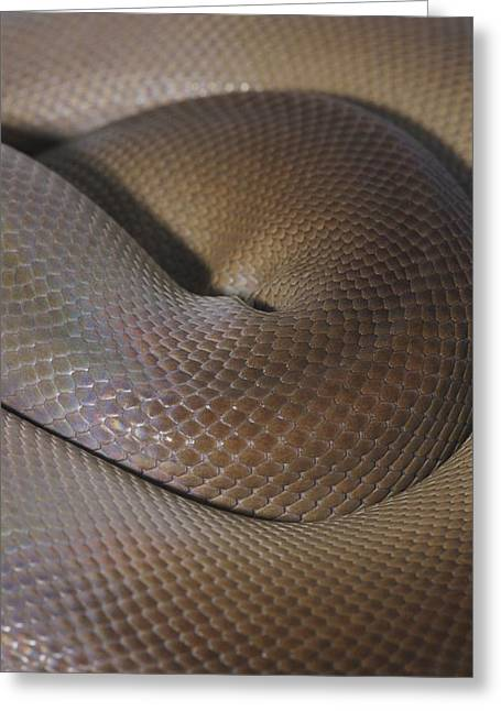 A Close View Of A Coiled Olive Python Greeting Card by Jason Edwards