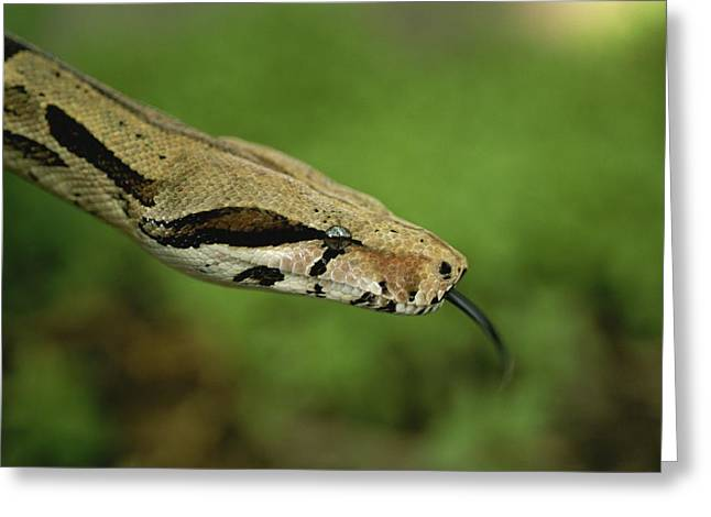 A Close View Of A Red-tailed Boa Greeting Card by Joel Sartore