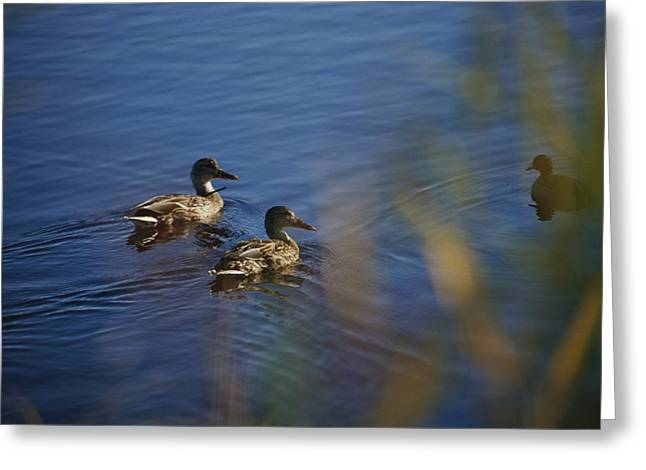 A Close View Of Ducks Swimming In Water Greeting Card by Raymond Gehman
