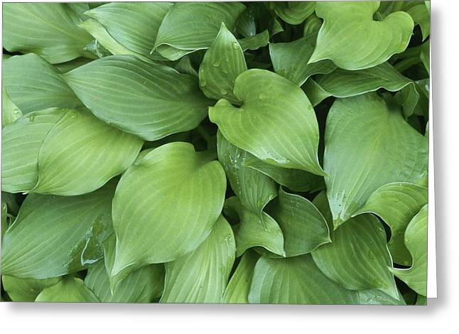 A Close View Of Hosta Greeting Card by Taylor S. Kennedy