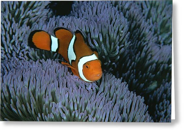 A Clown Anemonefish Of The Western Greeting Card by Wolcott Henry