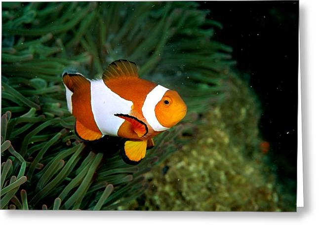 A Clown Anemonefish Swimming Greeting Card by Wolcott Henry