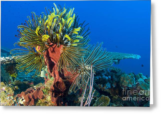 A Colony Of Feather Stars Attached Greeting Card