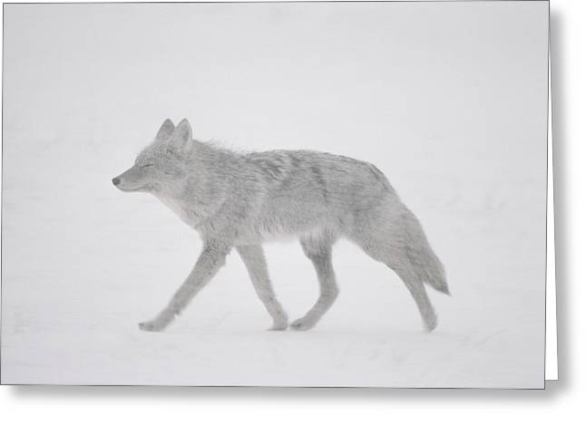 A Coyote Canis Latrans Moves Greeting Card by Annie Griffiths