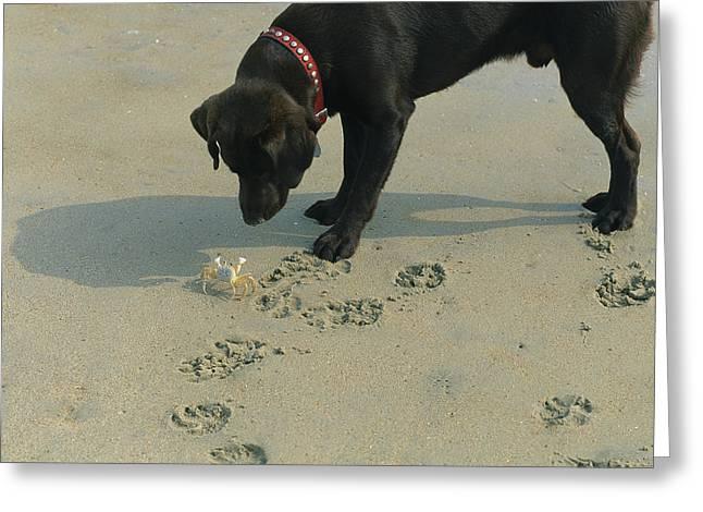 A Crab Threatens A Curious Dog Greeting Card by Stephen Alvarez