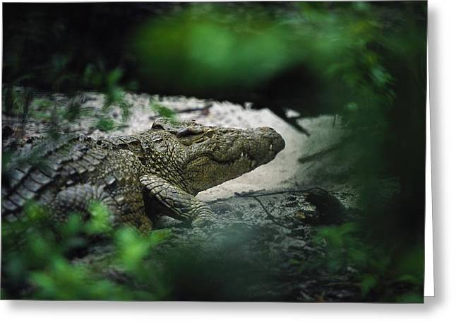 A Crocodile Photographed Through Dense Greeting Card by Michael Nichols