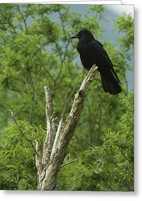 A Crow Perched On An Old Dead Tree Snag Greeting Card