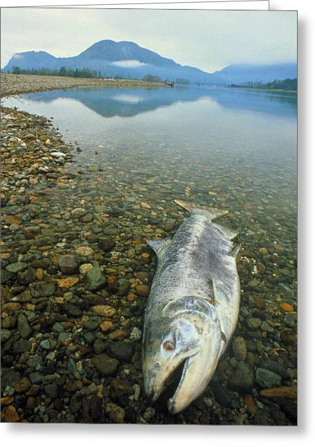 A Dead Chinook Salmon Seen Shortly After Spawning Greeting Card