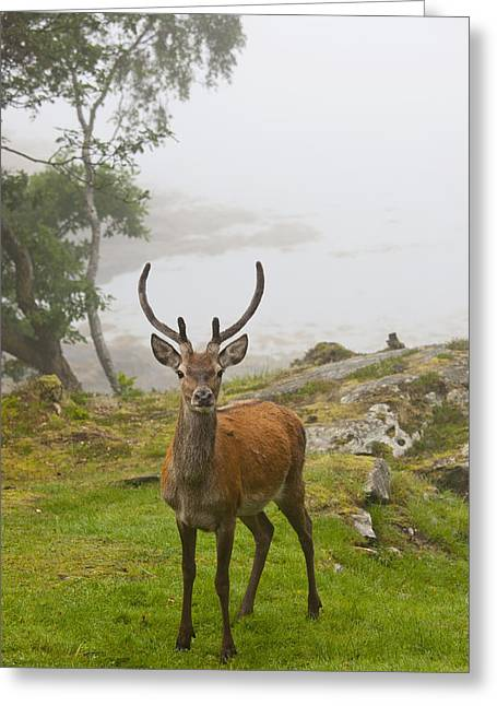 A Deer Stands In A Foggy Meadow By The Greeting Card by John Short