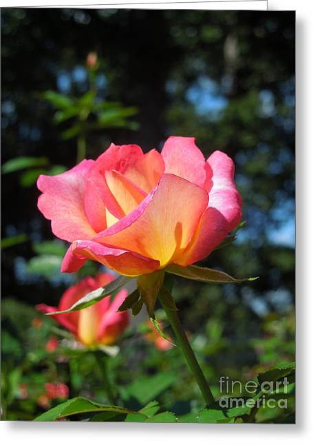 A Delicate Rose Greeting Card by Chad and Stacey Hall