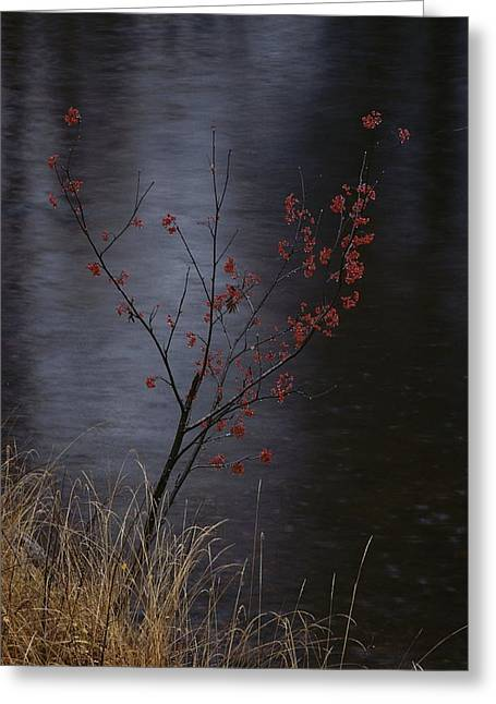A Delicate Young Tree Blossoms Greeting Card