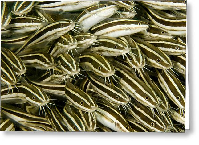 A Dense School Of Juvenile Striped Greeting Card