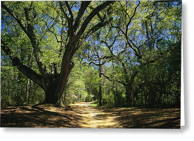 A Dirt Road Through A Forest Passes Greeting Card