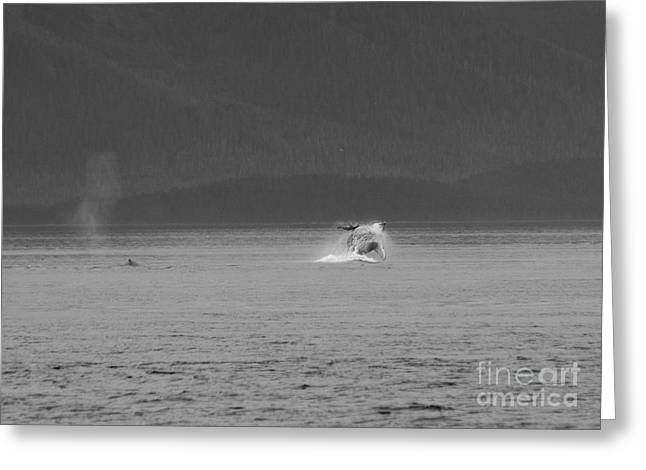 A Distant Breaching Whale In Black And White Greeting Card by Darcy Michaelchuk